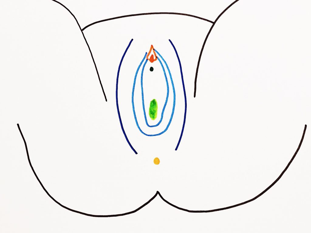 An anatomical diagram of a vulva